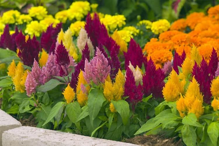 Целозия это не просто красивое декоративное растение, но также и очень полезное.