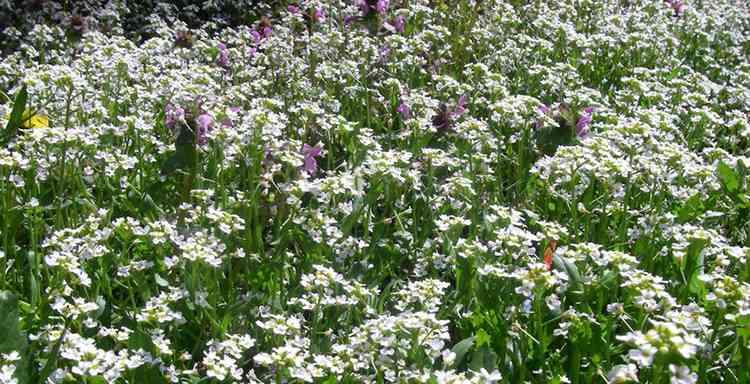 Ярутка полезные свойства растения