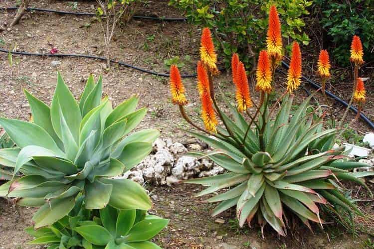 Поговорим о лечебных свойствах растения агава, которые вы видите на фото.