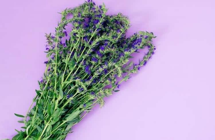 Теперь вы увидели фото растения и знаете все о полезных свойствах и противопоказаниях к применению иссопа.