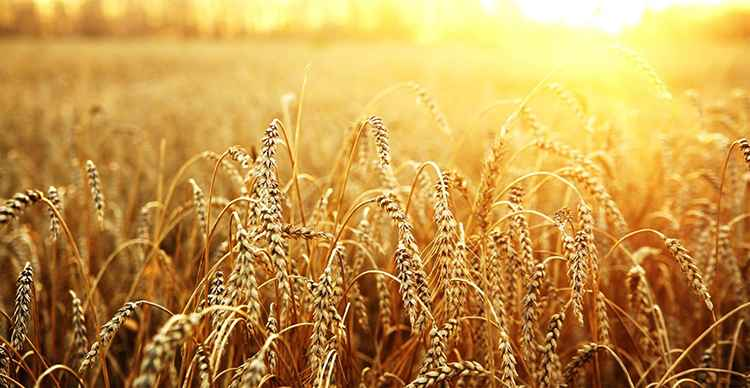 Пшеница свойства и польза данного растения
