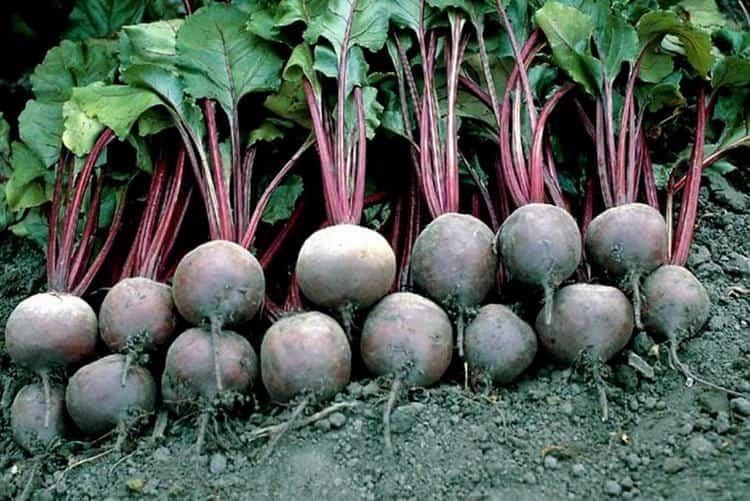 Выращивать этот овощ несложно.