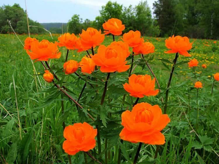 купальница: фото цветов и свойства растения