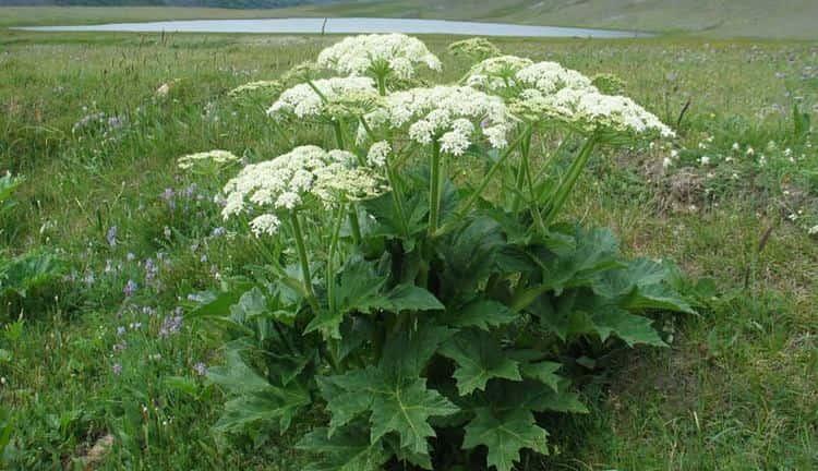 Вот так выглядит ядовитое растение борщевик.