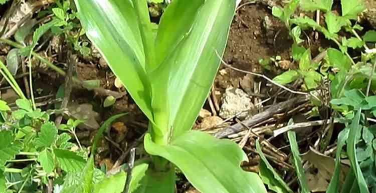 Ятрышник выращивание в домашних условиях