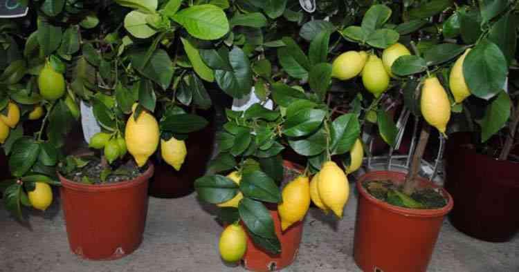 Лимон выращиваем у себя дома