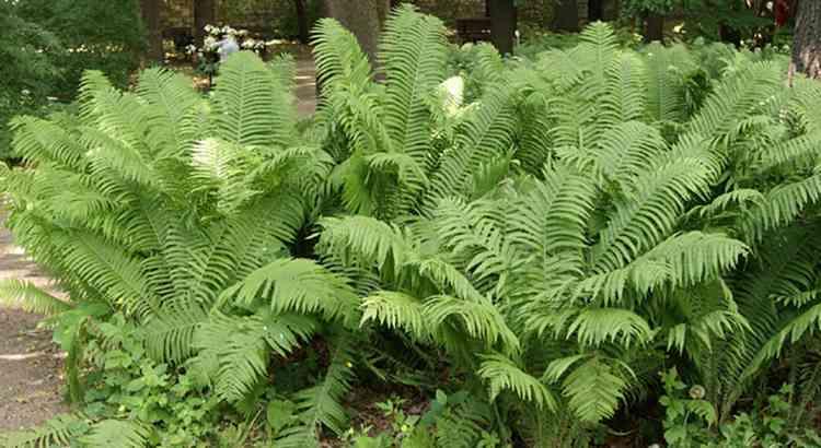 Страусник дополнительная информация о растении