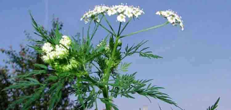 Бутень выращивание растения