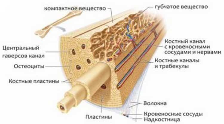Байкальский шлемник: целебные свойства