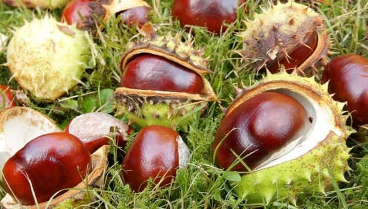Вот так выглядят плоды конского каштана.