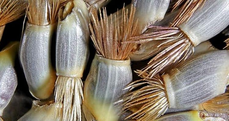 Еще при лечении бородавок на пальцах народными средствами применяют порошок из семян василька.