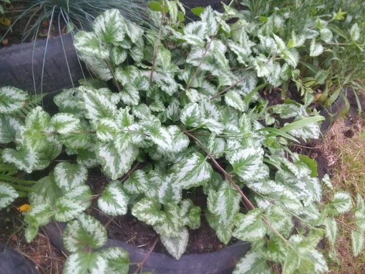 Зеленчук: лечебные свойства, противопоказания, польза и вред