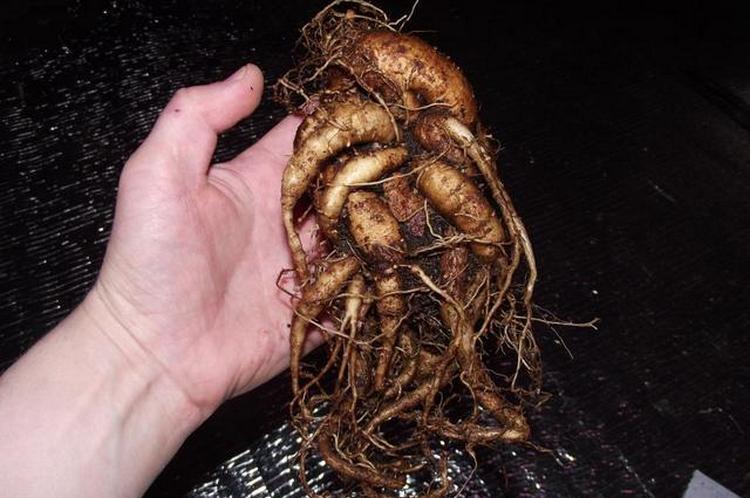 На самом деле выкопать корень растения несложно.
