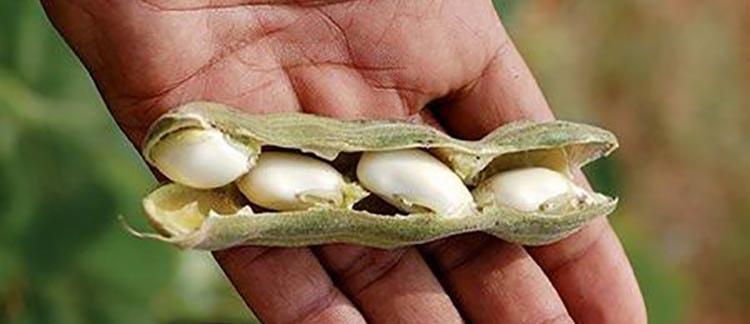Плоды мукуны жгучей помогут от глистов